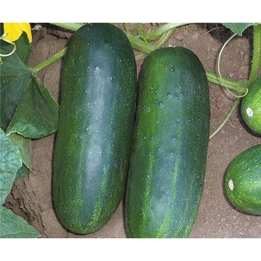 semente pepino caipira hibrido concord f1 topseed