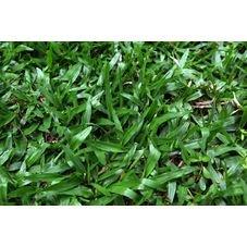 semente grama saocarlos isla