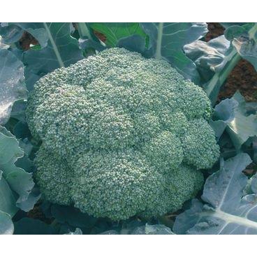 semente brocolis hibrido salinas f1 topseed