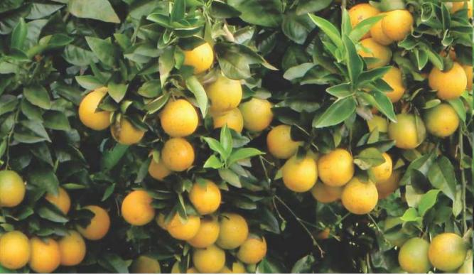 fertilizante farelado forth frutas laranja resultado