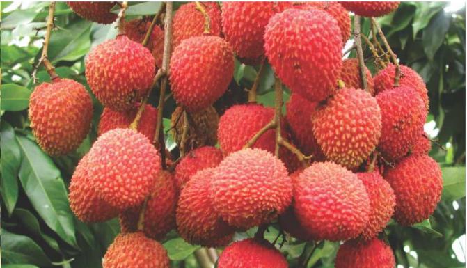 fertilizante farelado forth frutas lichia resultado