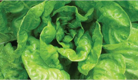 fertilizante farelado forth hortalicas alface resultado