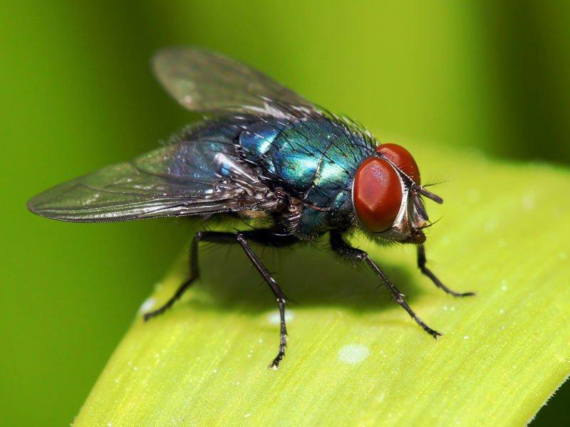 cola mosca citromax