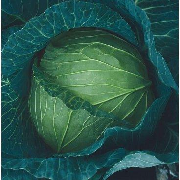 semente repolho hibrido f1 taishita. lavoura cabeca grande pesada
