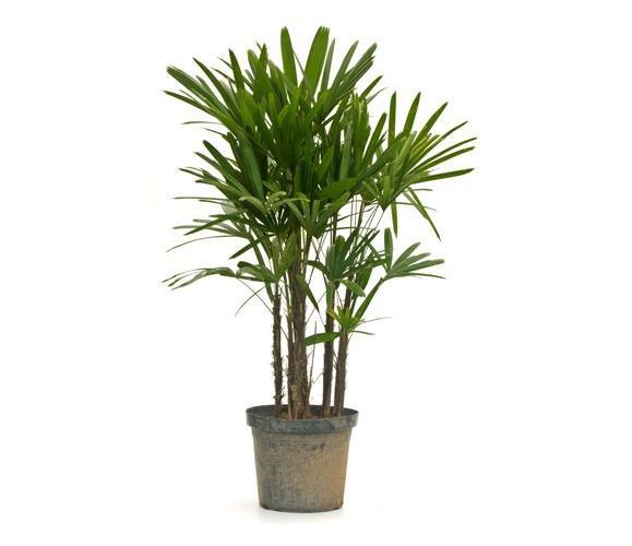 palmeira rafia agromania
