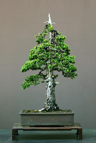 bonsai verde agromania