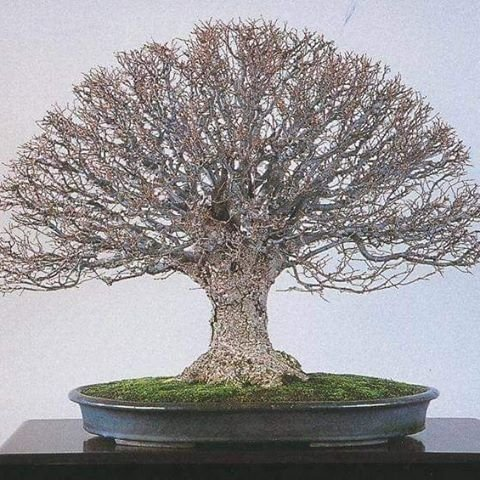 bonsai agromania