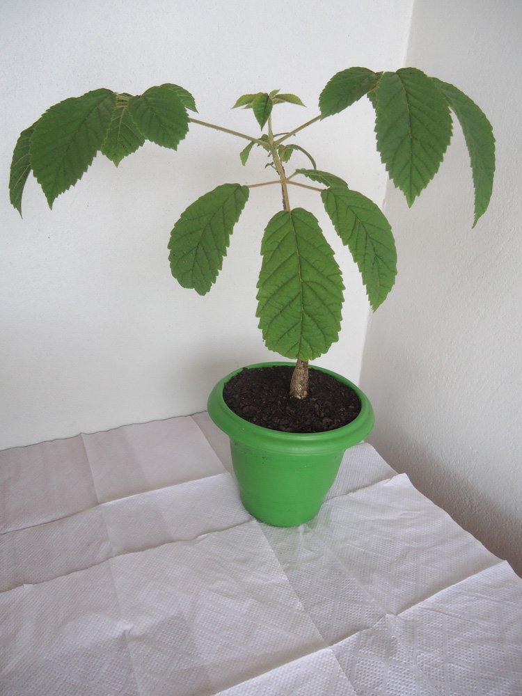 muda ipe bonsai