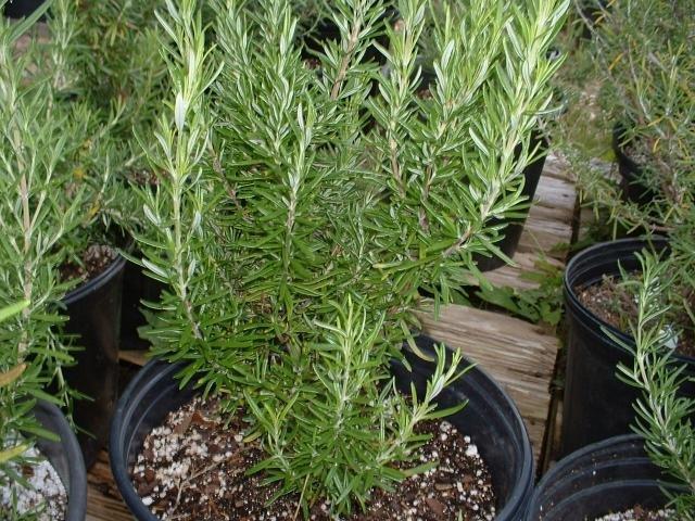 plantas companheiras alecrim