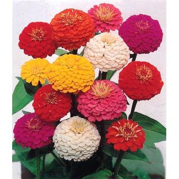 semente flor zinia feltrin