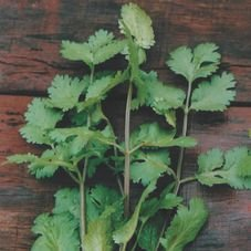 semente coentro verdao