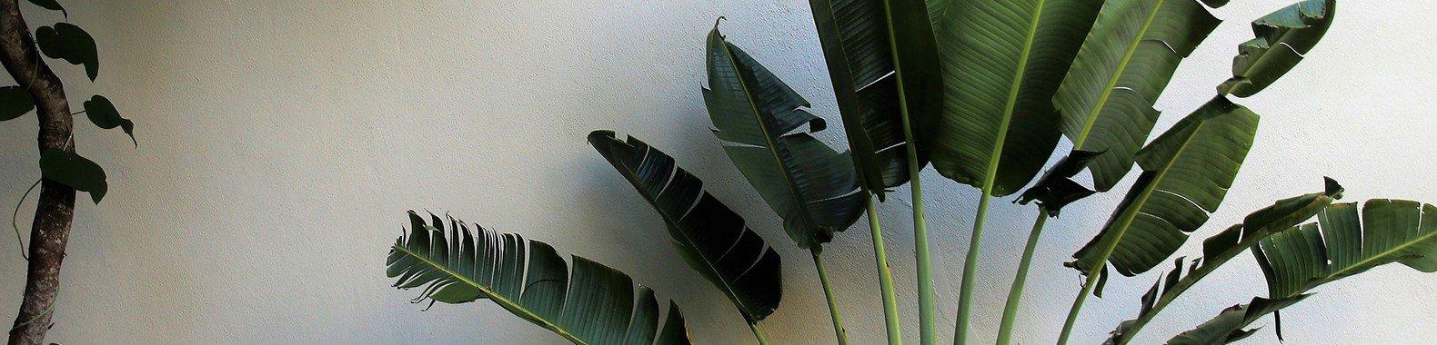 planta para ter em casa ciclanto