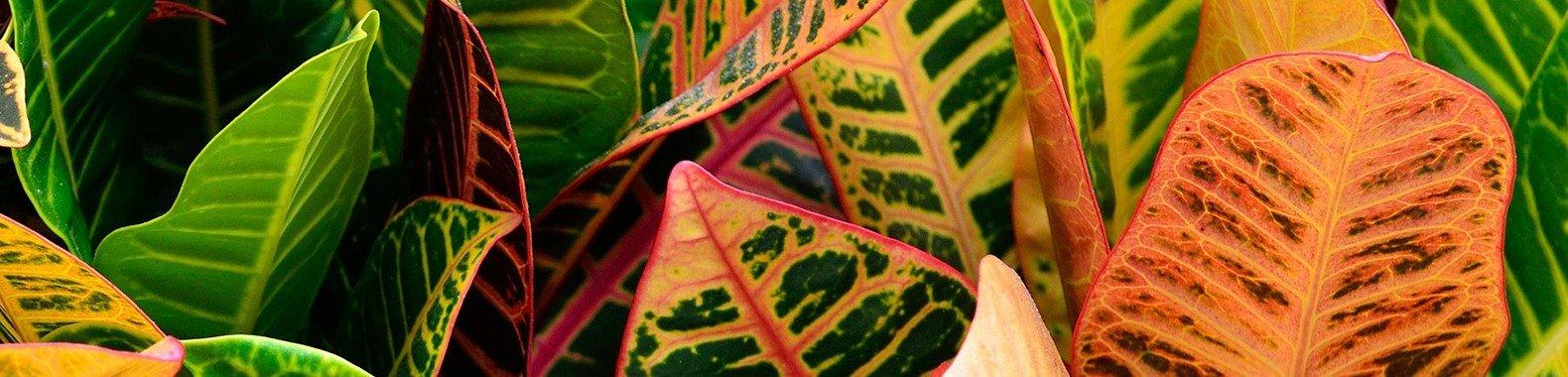 planta para ter em casa croton