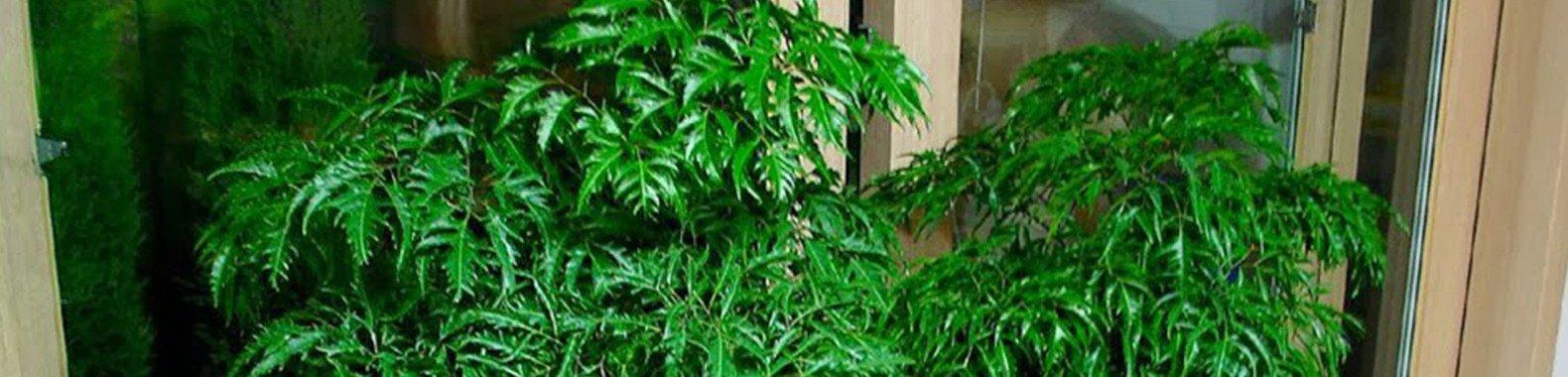 planta para ter em casa arvore felicidade