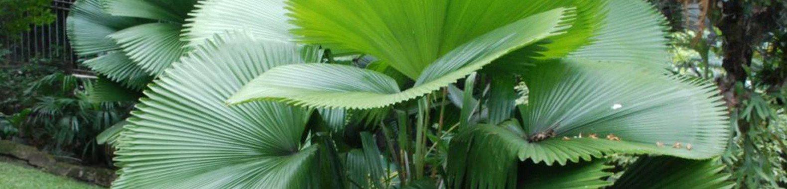 planta para ter em casa palmeira leque