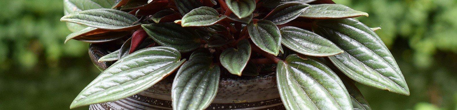 planta para ter em casa perperomia