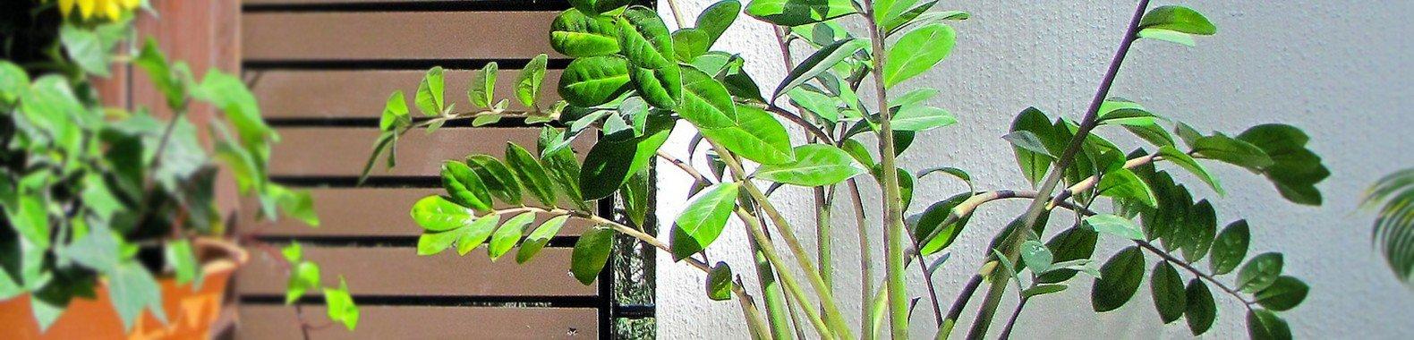 planta para ter em casa zamioculca
