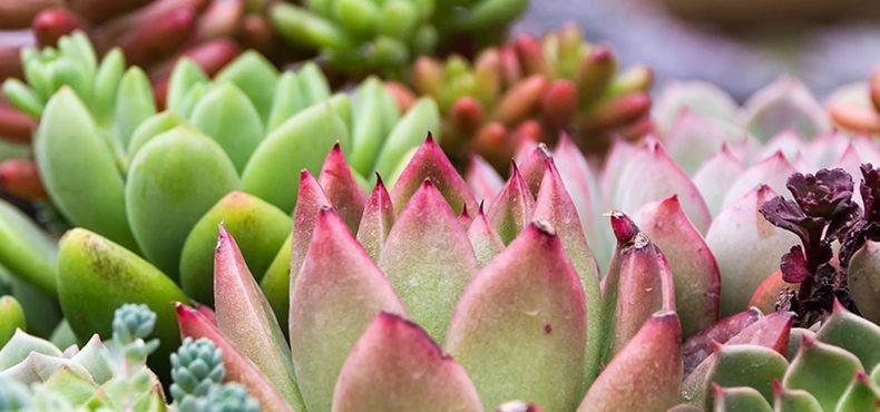 planta para ter em casa suculentas