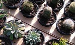 cultivo cactus suculentas pote np11 nutriplan